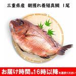 【予約】三重県産 朝獲れ養殖真鯛 約2kg 1尾【8/15~8/16 16時以降の配送限定】